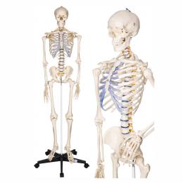 Anatomiczny model szkieletu ludzkiego